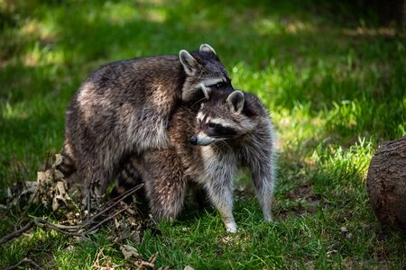 View of a pair common raccoons on the meadow. Photography of lively nature and wildlife.