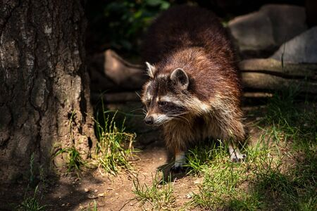 Portrait of adult female common raccoon. Photography of lively nature and wildlife.