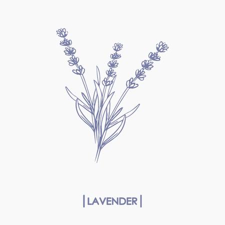 Vector hand drawn lavender bouquet