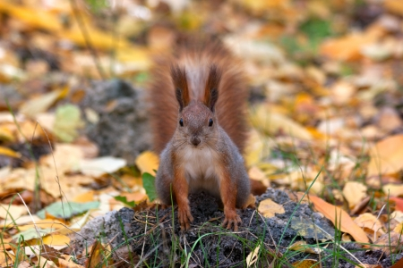 cute red squirrel photo