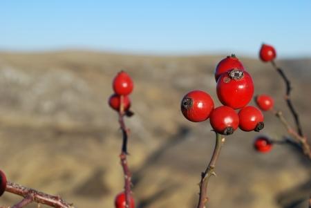 枝の赤い果実