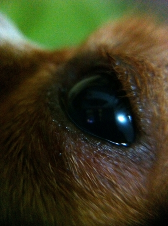 eye: Chihuahua eye macro