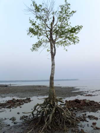 mangrove forest: root and tree, Bangladesh mangrove forest