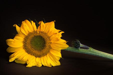 semen: sunflower on brown black dark background