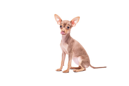 toyterrier: Puppy dog Russian Toy Terrier isolated on white background in studio
