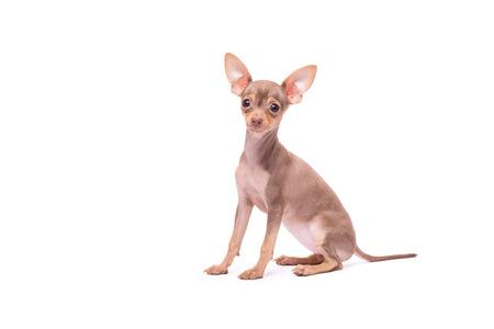 toy terrier: Cane Puppy Toy Terrier russo isolato su sfondo bianco in studio