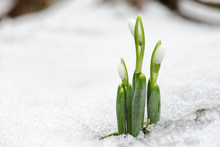 galanthus: Spring snowdrop flowers coming out from real snow in forest