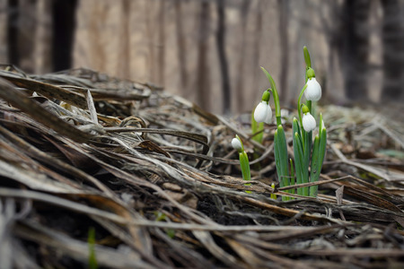 coming out: Spring snowdrop flowers coming out from real snow in forest