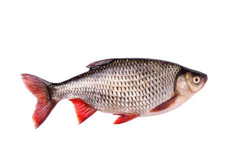 escamas de peces: Pescado crudo fresco aislado en el fondo blanco con trazado de recorte
