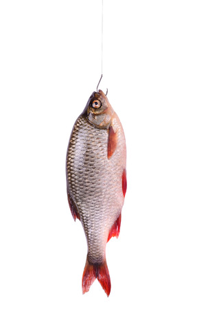 Fresh raw fish on a hook  isolated on white background with clipping path vertical orientation