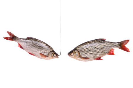 freshwater fish: Two fishes, fish on a hook, isolated on white background with clipping path included Stock Photo