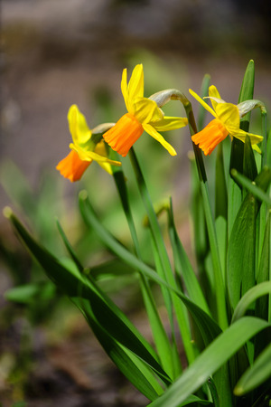 vertical orientation: Yellow Narcissus flowers in the garden with soft focus vertical orientation Stock Photo