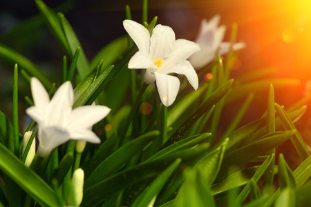 earliest: white spring flowers Chionodoxa blooming in the garden with sun rays soft focus