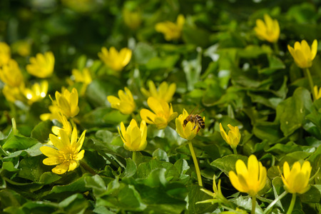 earliest: yellow spring flowers in the garden with bee, soft focus horizontal orientation