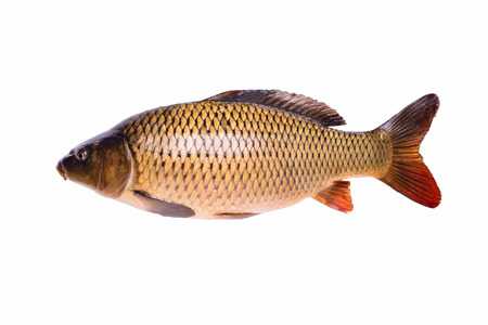 Carp fresh raw fish isolated on white background with clipping path