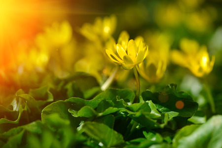 earliest: yellow spring flowers in the garden with sun rays beam, soft focus horizontal orientation Stock Photo