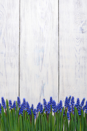 first blue springs flowers Muscari border on white wooden table background with copy space Standard-Bild