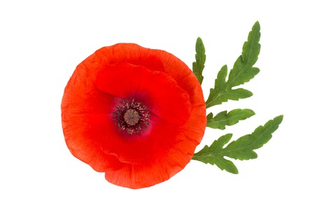 opiate: wild red poppy flowers isolated on white