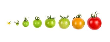 tomato growing evolution progress set isolated on white background 스톡 콘텐츠