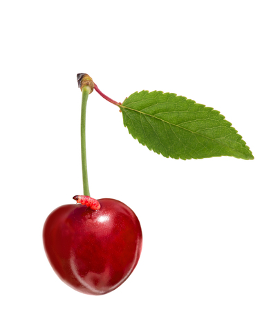love blast: Sweet ripe cherry with a worm isolated on white background