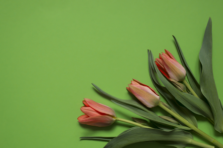 spring tulip flowers on green background. Top view composition. Pastel colors Фото со стока