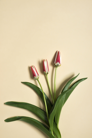 spring tulip flowers on beige background. Top view composition. Pastel colors