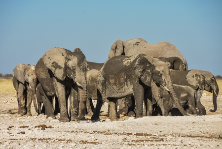 Elephant Herd - Etosha National Park - Namibia - Protecting their skin with mud and dust