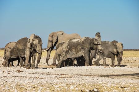 Elephant Herd - Etosha National Park - Namibië - Bescherming van hun huid met modder en stof Stockfoto