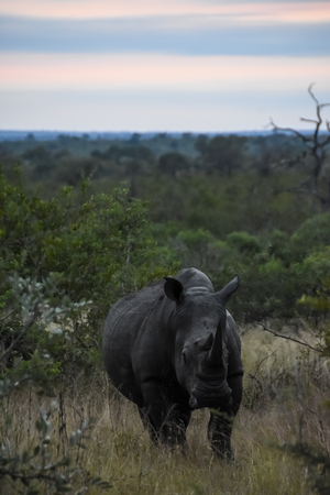 White Rhino -Kruger National Park Stock Photo