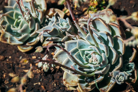 Echeveria plant in hot midday sun in a garden johannesburg - South Africa Stock Photo