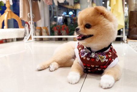 perros vestidos: Pomeranian dog with Dog Clothes
