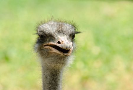 struts: Portrait of an ostrich on a light background