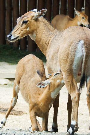breastfeed: Beb� de un ant�lope cochinillo su madre
