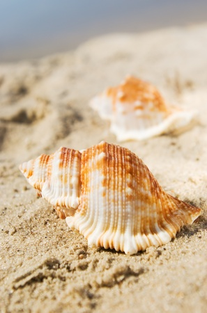 Shell in the sand at the beach, focus on the shell.  photo