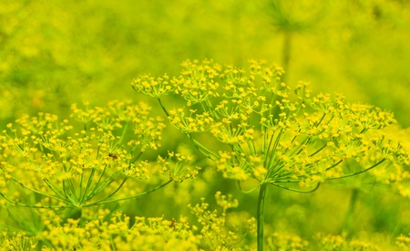 pismire: luxuriantly flowering dill in the garden