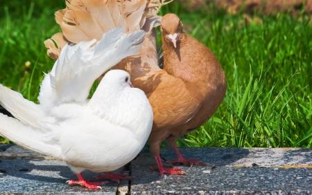 Brown dove  caring for white dove
