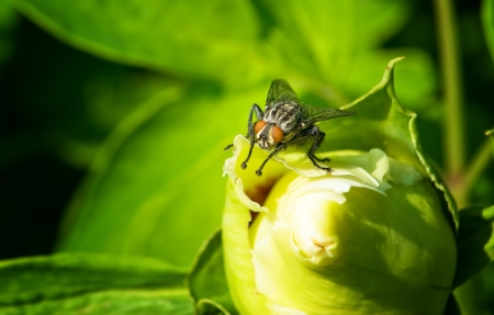 insectiside: big black fly sitting on a flower Stock Photo