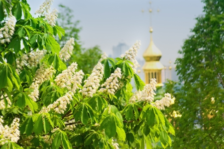 Flowering branches of chestnut (Aesculus hippocastanum) on the background of green leaves and sky  photo
