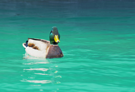 Beautiful male or drake duck swimming on a pond