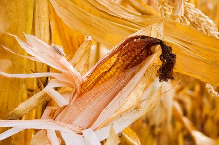 ripe ear of corn ready for harvest Standard-Bild