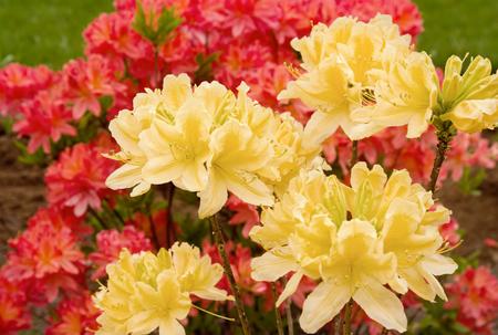 Beautiful blooming azaleas and rhododendrons in the garden Standard-Bild