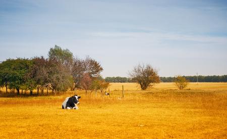 Lonely cow in a dry summer field Standard-Bild