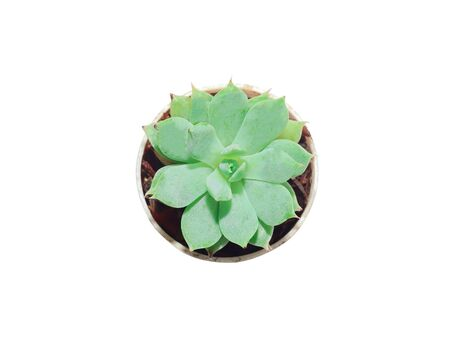 Close-up of top view a cactus succulent plant rose shaped Small, green surface in a pot, plant to decorate or decorate the room. Gardening in the room, isolated on a white background