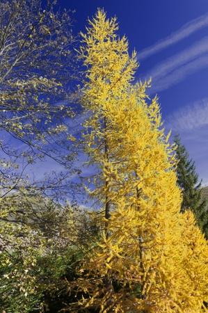bardonecchia: Autumn yellow tree Stock Photo