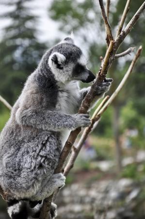 kata: Lemur Kata standing on a tree Stock Photo