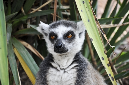 kata: Close uo of lemure kata face