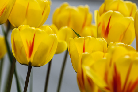 bardonecchia: Yellow tulips on italians alps