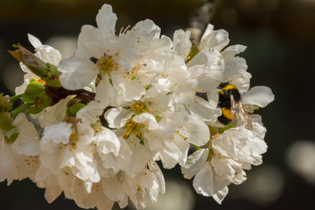 A bumblebee is sucking nectar in a flower of a fruit tree Stock Photo