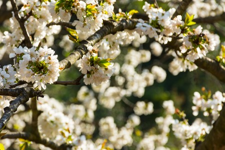 Some white flowers of fruit tree with background unfocused Stock Photo
