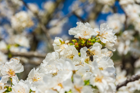 A bee is moving on a flower of a fruit tree. Some flowers unfocused Stock Photo
